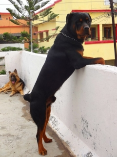Rottweiler available for Stud !!!