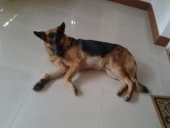 GSD stud available for breeding