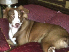 Male adult dog mix breed looking for mating