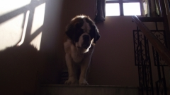 Stunning show quality saint bernard stud male is available for mating