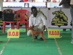 MIniature Pinscher for stud service in Pondicherry