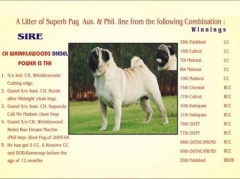 Indian Champion Pug male For Mating