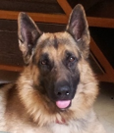 Looking for german shepherd for mating my 2 yr old GSD