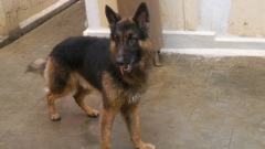gsd stud dog... with import lineage