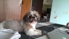 3 YEAR OLD MALE SHIH TZU