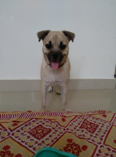 Pug Ready for MATING
