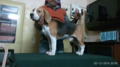 BEAGLE STUD DOG