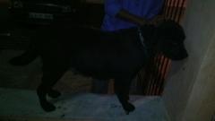 Labrador Retriever KCI registered with good Parental champion for stud