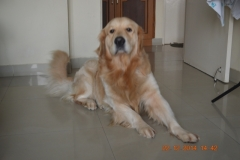 Show Quality Golden Retriever of Pure Breed Stud Dog