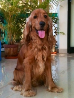 Cocker Spaniel stud in south goa