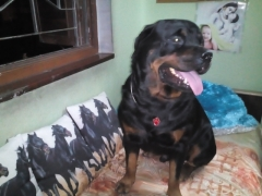 Rottweiler available for stud dog in KOLKATA