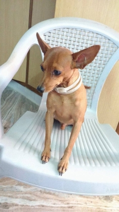 Miniature Pinscher available for Stud