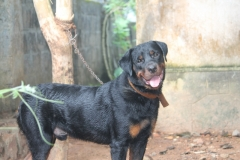 male adult rotweiler