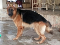 Available Male GSD for Studding