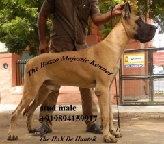Great Dane Show Quality KCI registered Stud male Dog Available for stud At Madurai