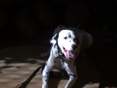 4YR OLD MALE QUALITY DALMATION FOR MATING STUD PURPOSE ONLY