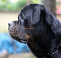 Stud Dog - Rottweiler