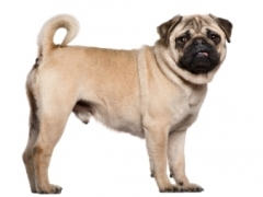 Pug dog available for Stud