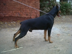 European Doberman Male out of Imported Parents available for Stud in Mumbai