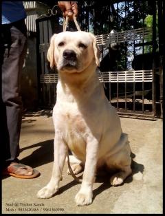 Imported line Labrador Retriever For Stud