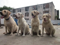 Good Maintained Labrador for stud
