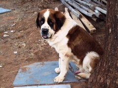 Saint Bernard Male for Mating