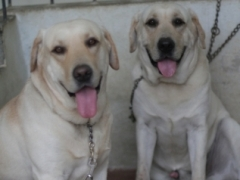 Lab male available for stud in hyderabad
