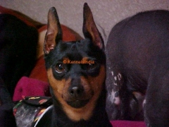 Stud Dog - Miniature Pinscher