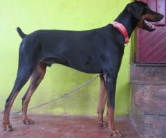 heavy size doberman stud dog