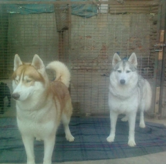 Best Husky Male for Mating
