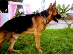 Proven GSD KCI Regd. Available for Stud