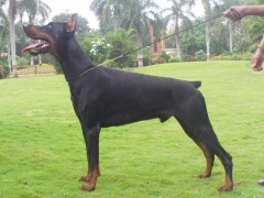 Imported dobermann available for stud to approved bitches