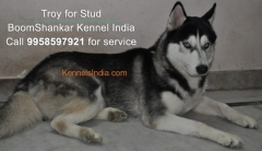 Siberian Husky Male Available for mating