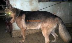 German Shepherd Stud Dog in Bhopal
