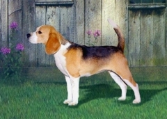 need beagle male for stud
