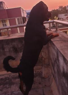Rottweiler stud dog Available in Chennai Tamil Nadu