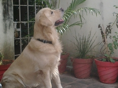 Swiss Born Golden Retriever available for Stud service