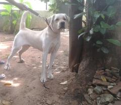 Labrador Retriever Stud Dog available in Coimbatore