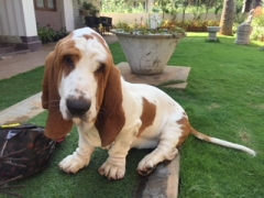 EXCELLENT BASSET AVAILABLE FOR STUD