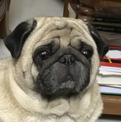 Male Pug available for mating in Erode Tamilnadu