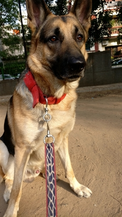 Tyson German Shepherd Stud Dog available India