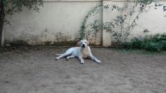 Best Quality Labrador Retriever for STUD service