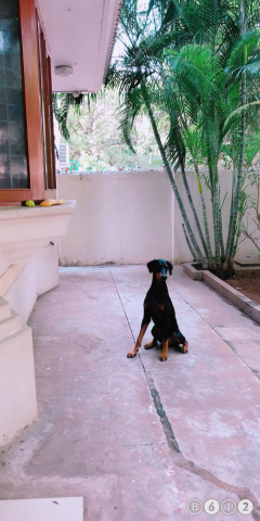MALE DOBERMAN Dog available for Stud