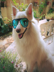 Japanese Spitz Available for dog mating
