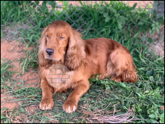 Orange Roan Cocker Spaniel Proven Male