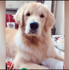 Golden Retriever KCI registered stud Dogs Ready Faridabad