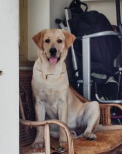 Labrador Retriever Stud Dog Available in Bengaluru, Karnataka