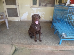 Healthy Labrador retriever is available for stud service