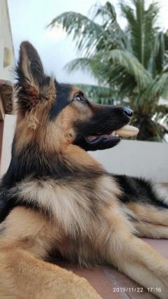 Heavy Bone German Shepherd Stud Dog Available in Chennai