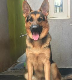 Smart and well built dense coat German Shepherd Stud dog male